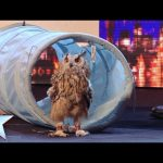 Rocky the owl is a hoot! – Britain's Got Talent 2014 – Berkley Owls (Short version)