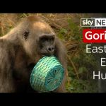 Gorilla Easter Egg Hunt